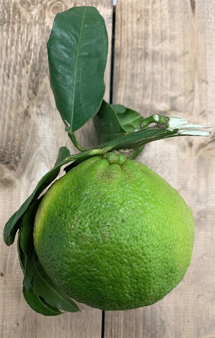 bergamot2-smith-and-brock