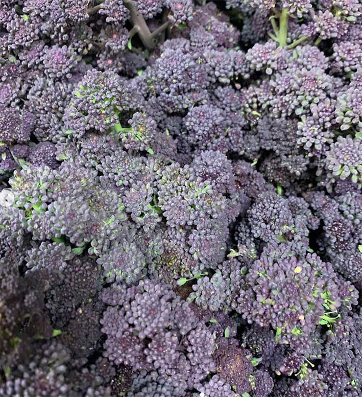 purple-sprouting-broccoli-smith-and-brock